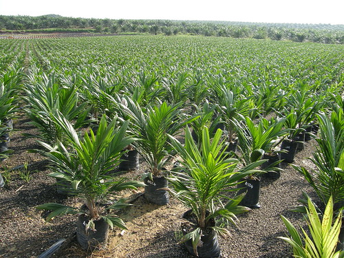 What's the problem with palm oil, anyway?